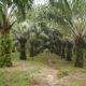 Article : Le palmier à huile, une plante pas comme les autres