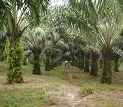 une palmeraie dans le sud bénin