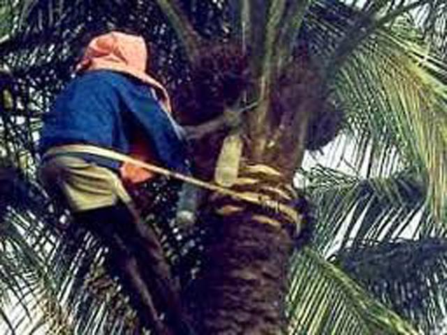 Récolte d'un régime mûr sur un palmier à huile