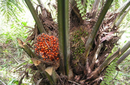 Article : Le Bénin peut-il reconquérir sa place d'antan au niveau du palmier à huile ?
